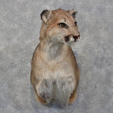 Mountain Lion Cougar Shoulder Mount #12177- For Sale @ The Taxidermy Store
