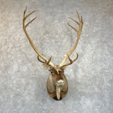 Mountain Caribou Shoulder Mount For Sale #24933 @ The Taxidermy Store