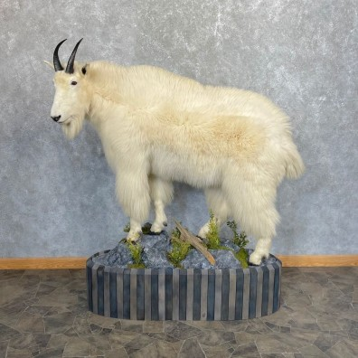 Mountain Goat Life-Size Mount For Sale #24439 @ The Taxidermy Store