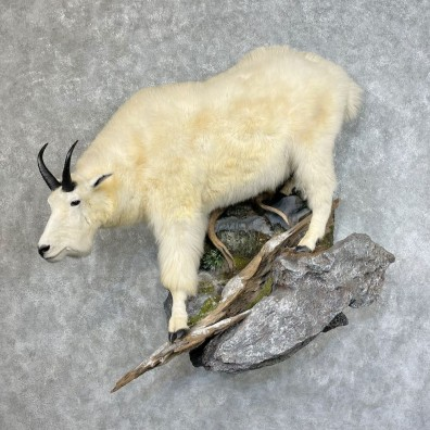 Mountain Goat Life-Size Mount For Sale #25324 @ The Taxidermy Store