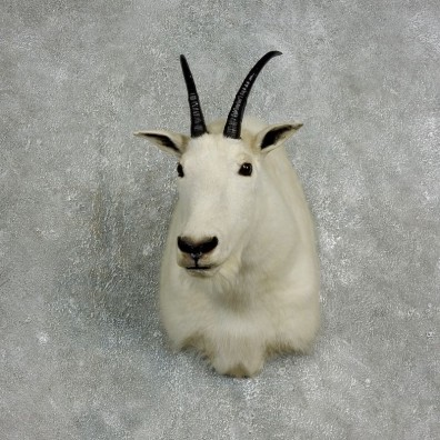 Mountain Goat Shoulder Mount For Sale #17647 @ The Taxidermy Store
