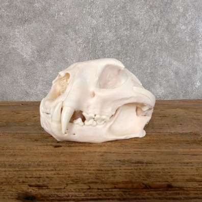 Mountain Lion Cougar Full Skull For Sale #18553 @ The Taxidermy Store