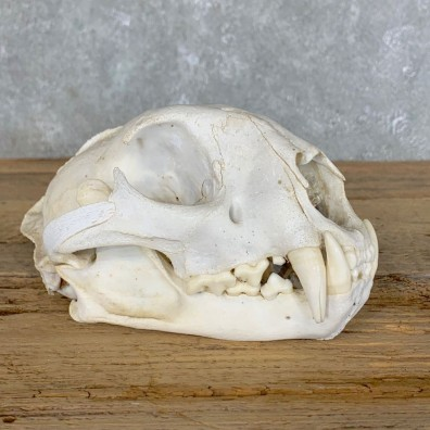 Mountain Lion Cougar Full Skull For Sale #22710 @ The Taxidermy Store