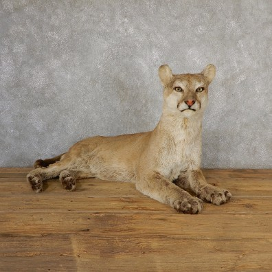 Mountain Lion Life-Size Mount For Sale #19042 @ The Taxidermy Store