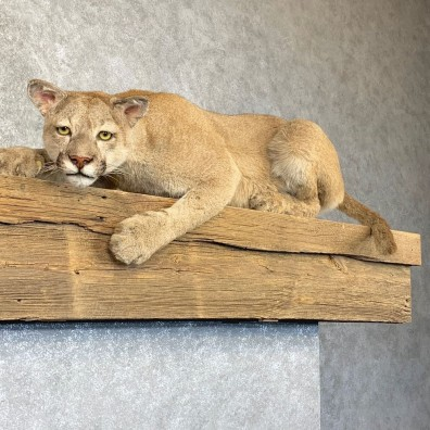 Mountain Lion Life-Size Mount For Sale #22772 @ The Taxidermy Store