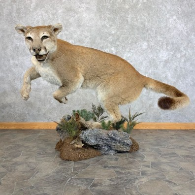 Mountain Lion Life-Size Mount For Sale #22777 @ The Taxidermy Store