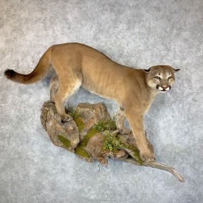 Mountain Lion Life-Size Mount For Sale #23661 @ The Taxidermy Store