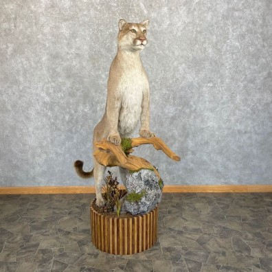 Mountain Lion Life-Size Mount For Sale #24438 @ The Taxidermy Store