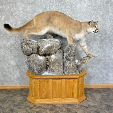 Mountain Lion Life-Size Mount For Sale #25274 @ The Taxidermy Store