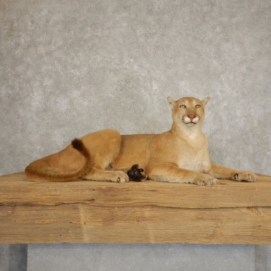 Mountain Lion Life Size Taxidermy Mount #21353 For Sale - The Taxidermy Store