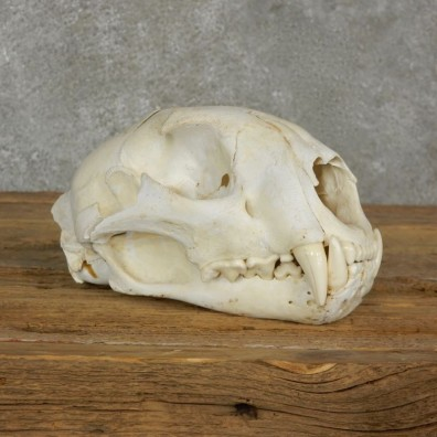 Mountain Lion Cougar Full Skull For Sale #17063 @ The Taxidermy Store