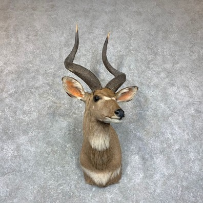 Mountain Nyala Taxidermy Shoulder Mount #22920 For Sale @ The Taxidermy Store