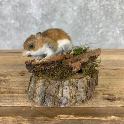 Mouse Life-Size Mount For Sale #21567 @ The Taxidermy Store
