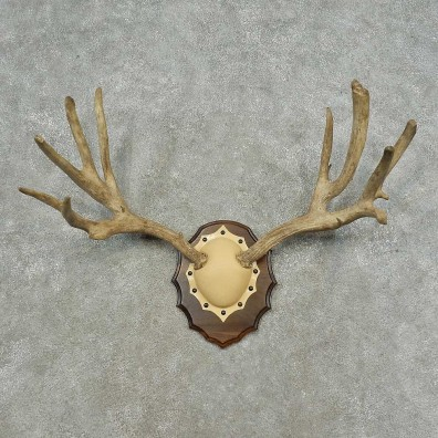 Mule Deer Antler Plaque Mount For Sale #16746 @ The Taxidermy Store