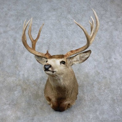 Mule Deer Shoulder Mount For Sale #15713 @ The Taxidermy Store