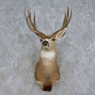 Mule Deer Shoulder Mount For Sale #15716 @ The Taxidermy Store