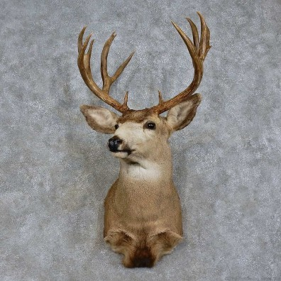 Mule Deer Shoulder Mount For Sale #15721 @ The Taxidermy Store