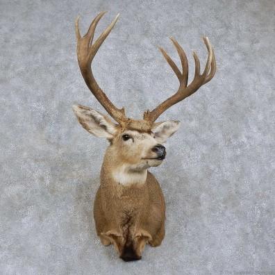 Mule Deer Shoulder Mount For Sale #15739 @ The Taxidermy Store