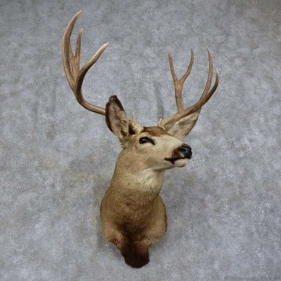 Mule Deer Shoulder Mount For Sale #15745 @ The Taxidermy Store