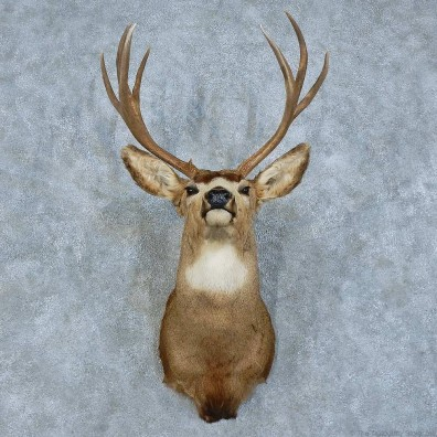 Mule Deer Shoulder Mount For Sale #15791 @ The Taxidermy Store