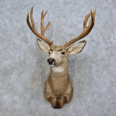 Mule Deer Taxidermy Shoulder Mount For Sale #15805 @ The Taxidermy Store
