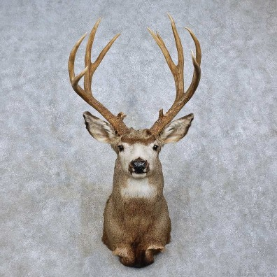 Mule Deer Taxidermy Shoulder Mount For Sale #15807 @ The Taxidermy Store
