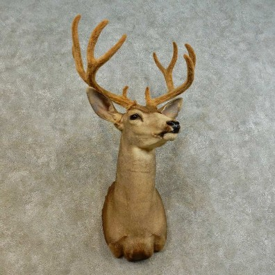 Mule Deer Shoulder Mount For Sale #16531 @ The Taxidermy Store