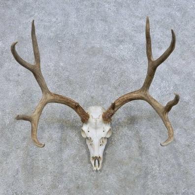 Mule Deer Skull European Mount For Sale #14653 @ The Taxidermy Store