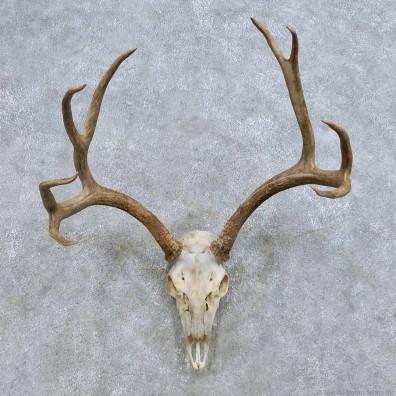Mule Deer Skull European Mount For Sale #14677 @ The Taxidermy Store