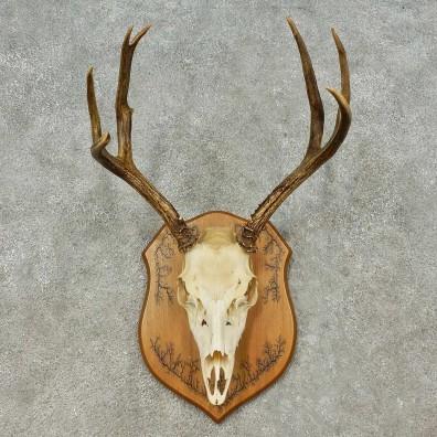 Mule Deer Skull European Mount For Sale #16197 @ The Taxidermy Store