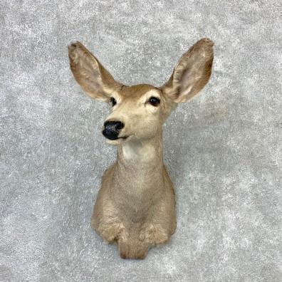 Mule Deer Doe Shoulder Mount For Sale #23261 @ The Taxidermy Store