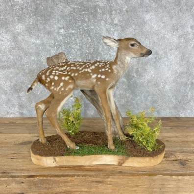 Mule Deer Fawn Life-Size Mount For Sale #25283 - The Taxidermy Store