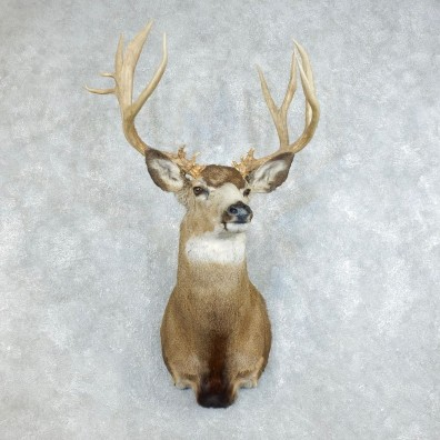 Mule Deer Shoulder Mount For Sale #18511 @ The Taxidermy Store