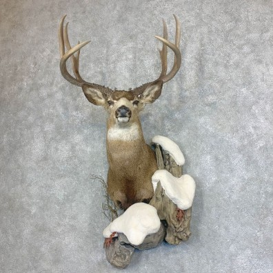 Mule Deer Shoulder Mount For Sale #21932 @ The Taxidermy Store