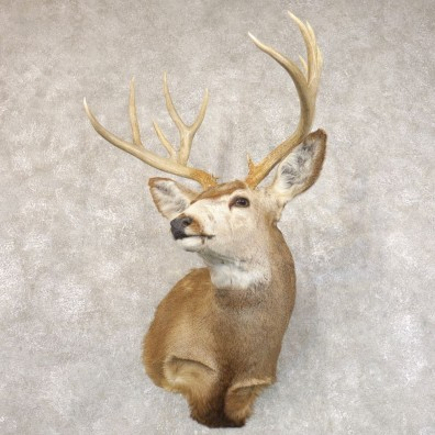 Mule Deer Shoulder Mount For Sale #22206 @ The Taxidermy Store