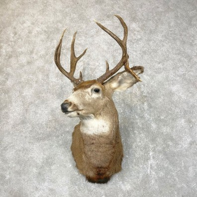 Mule Deer Shoulder Mount For Sale #24522 @ The Taxidermy Store