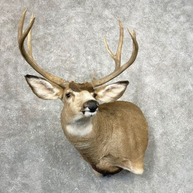 Mule Deer Shoulder Mount For Sale #24790 @ The Taxidermy Store