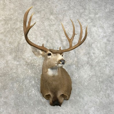 Mule Deer Shoulder Mount For Sale #25120 @ The Taxidermy Store