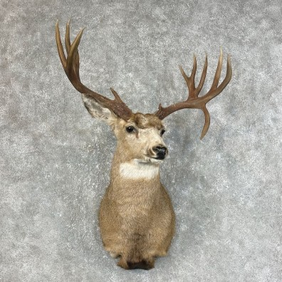 Mule Deer Shoulder Mount For Sale #25468 @ The Taxidermy Store