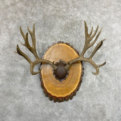 Mule Deer Taxidermy European Antler Plaque #24573 For Sale @ The Taxidermy Store