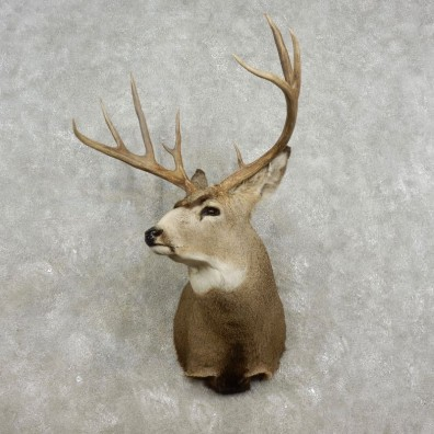 Mule Deer Shoulder Mount For Sale #17325 @ The Taxidermy Store