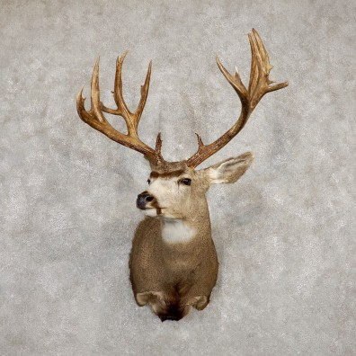 Mule Deer Taxidermy Shoulder Mount For Sale #19933 @ The Taxidermy Store
