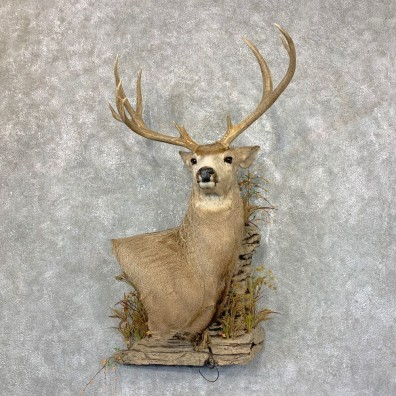 Mule Deer Wall Pedestal Mount For Sale #23689 @ The Taxidermy Store