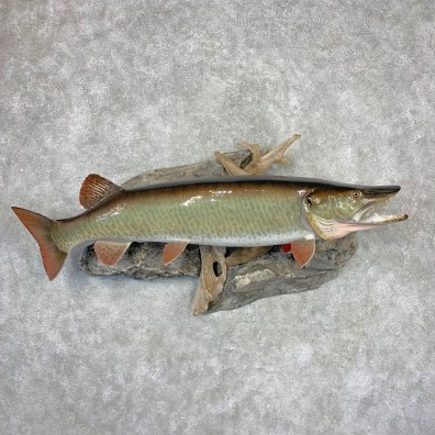 Muskie Reproduction Fish Mount For Sale #21606 @ The Taxidermy Store
