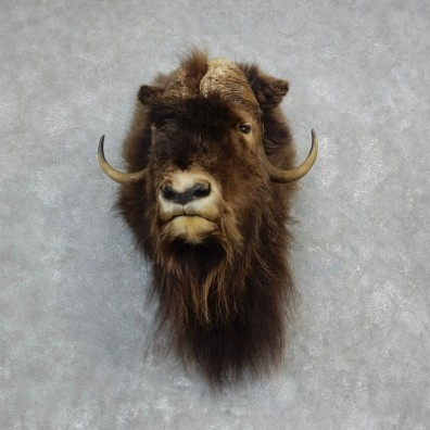 Muskox Shoulder Mount For Sale #18227 @ The Taxidermy Store
