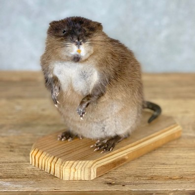 Muskrat Life Size Taxidermy Mount #21698 For Sale @ The Taxidermy Store