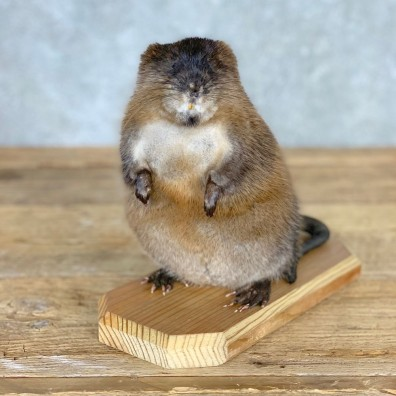 Muskrat Life Size Taxidermy Mount #21703 For Sale @ The Taxidermy Store