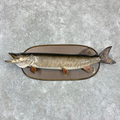 Musky Taxidermy Fish Mount For Sale #23158 @ The Taxidermy Store