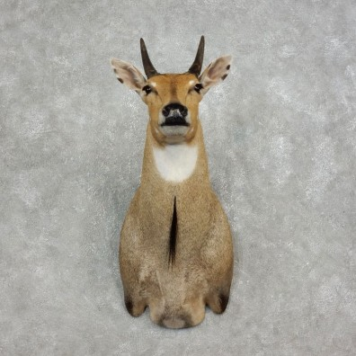 Nilgai Antelope Taxidermy Shoulder Mount For Sale #17895 @ The Taxidermy Store