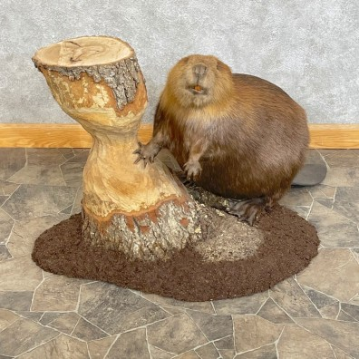 North American Beaver Mount For Sale #24629 @ The Taxidermy Store
